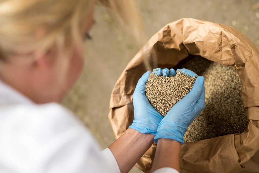 Les graines de chanvre : sont-elles en vente légale en France ?